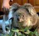 sam-the-koala
